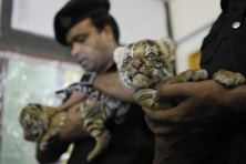Smuggled Tiger Cub Sundarbans
